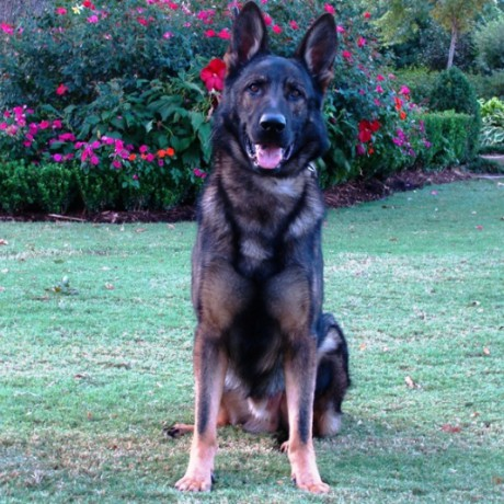 German Shepherds: The Best Guard Dogs