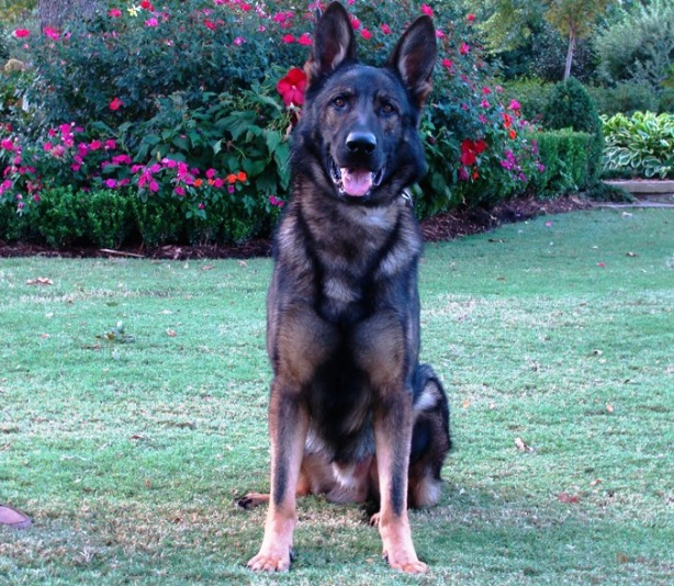 Protection Dog Testimonials Breeds Picture