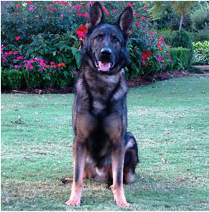 German Shepherd Protection Dog