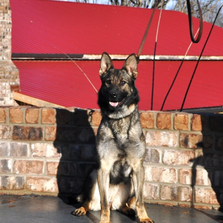 Best Guard Dog: The German Shepherd