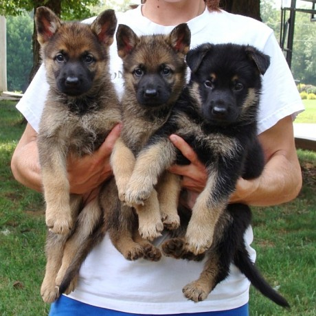 Working German Shepherd Puppies