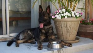 german_shepherd_simanovich