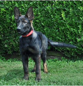 A Trained Adolescent German Shepherd